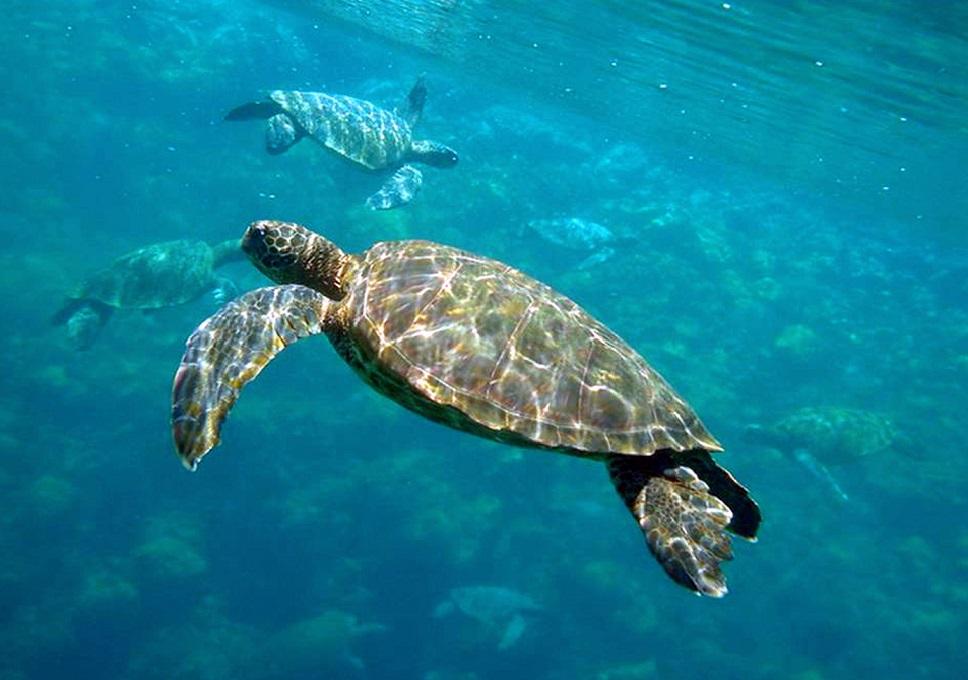 Sea Turtle at Galapagos